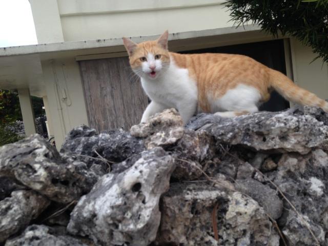竹富島でなんかめっちゃしゃべってくる猫