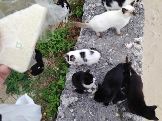 竹富島 コンドイビーチの猫 強盗団